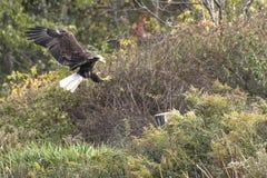 Weißkopfseeadler zyklische Blockprüfung Lizenzfreies Stockfoto