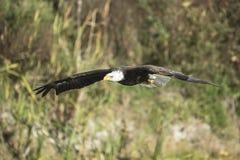 Weißkopfseeadler zyklische Blockprüfung Lizenzfreies Stockbild