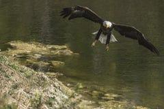 Weißkopfseeadler zyklische Blockprüfung Lizenzfreie Stockfotos