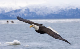 Weißkopfseeadlerfliegen mit über der Bucht mit Eis im Wasser bei Homer Lizenzfreie Stockfotografie