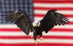 Weißkopfseeadlerfliegen mit amerikanischer Flagge Stockfoto