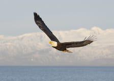 Weißkopfseeadlerfliegen mit blauem Himmel über der Bucht bei Homer Alaska Stockbilder