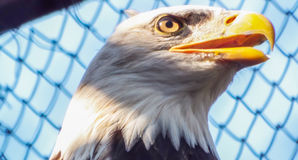 Weißkopfseeadlergesicht Lizenzfreies Stockfoto
