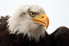Weißkopfseeadlerporträt Stockbild