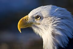Weißkopfseeadler stock abbildung