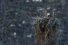 Weißkopfseeadlerwipfel Nest Stockfotografie