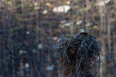 Weißkopfseeadlerwipfel Nest Lizenzfreies Stockbild