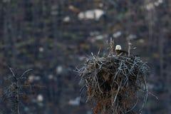 Weißkopfseeadlerwipfel Nest Stockbild
