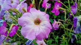 Weißliche purpurrote Blume Lizenzfreies Stockbild