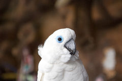 Weißpapagei des blauen Auges Lizenzfreie Stockbilder