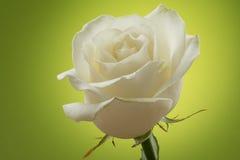 Weißrose auf einem grünen Hintergrund Stockbild