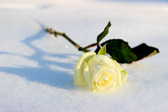 Weißrose auf einem kalten Winterschnee Stockbild