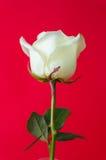 Weißrose auf rotem Hintergrund Stockbilder