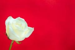 Weißrose auf rotem Hintergrund Lizenzfreie Stockfotografie