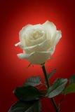 Weißrose auf rotem Hintergrund Lizenzfreies Stockbild