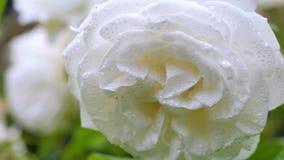 Weißrose in den Regentropfen, die im Wind schwingen Nahaufnahme Lizenzfreie Stockfotos