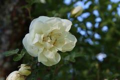 Weißrose der Hagebutte Stockbilder
