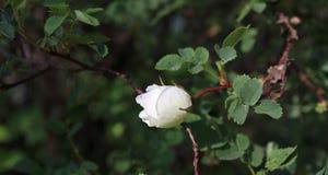 Weißrose der Hagebutte Stockbild