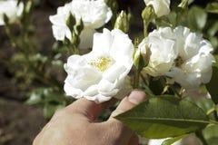 Weißrose in der Hand lizenzfreie stockbilder