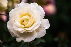 Weißrose in der süßen und weichen Farbflora Stockfotos