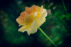 Weißrose in einem Garten Stockfoto
