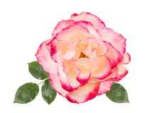 Weißrose mit dem rosa, weißen Hintergrund, lokalisiert Lizenzfreie Stockfotos