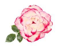 Weißrose mit dem rosa, weißen Hintergrund, lokalisiert Lizenzfreies Stockfoto