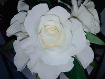 Weißrose mit den großen Blumenblättern Stockbild