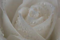 Weißrose mit Tau auf den Blumenblättern Stockfotografie