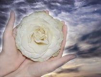 Weißrose mit Tropfen des Taus auf den Blumenblättern der Hände auf dem backg stockbild
