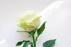 Weißrose am weißen Hintergrund Lizenzfreies Stockbild