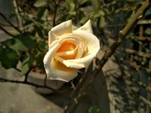 Weißrosenblüte stockbild
