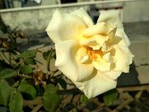 Weißrosenblüte lizenzfreies stockfoto