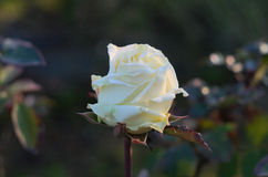 Weißrosenblume auf natürlichem Hintergrund Stockbild