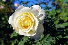 Weißrosenblume bei Inez Grant Parker Memorial Rose Garden Stockbild