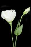 Weißrosenblumen-Studiofoto mit schwarzem Hintergrund Stockbilder