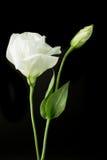 Weißrosenblumen-Studiofoto mit schwarzem Hintergrund Lizenzfreie Stockbilder