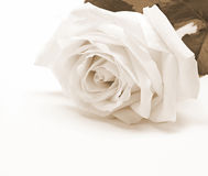 Weißrosennahaufnahme als Hintergrund Im Sepia getont Retro- Art Stockbilder