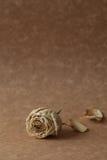Weißrosentrockenblume Lizenzfreies Stockfoto