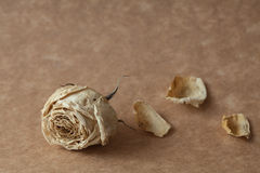 Weißrosentrockenblume Lizenzfreie Stockfotografie