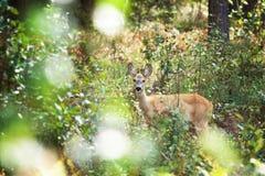 Weißrussland Roe Deer Stockfotografie