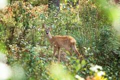 Weißrussland Roe Deer Lizenzfreie Stockfotos