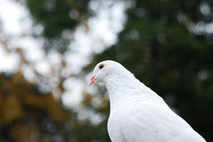 Weißtaube Stockbild
