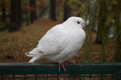 Weißtaube, die auf einem Zaun sitzt Stockfotografie