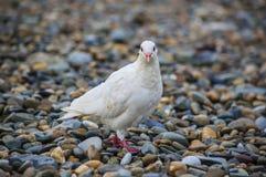 Weißtaube, die auf peeble Strand sitzt lizenzfreies stockfoto