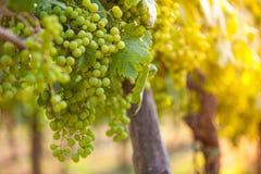 Weißtrauben u. x28; Pinot Blanc u. x29; im Weinberg während des Sonnenaufgangs Lizenzfreie Stockfotos