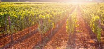 Weißtrauben u. x28; Pinot Blanc u. x29; im Weinberg während des Sonnenaufgangs Stockbilder