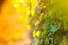 Weißtrauben u. x28; Pinot Blanc u. x29; im Weinberg während des Sonnenaufgangs Lizenzfreies Stockfoto