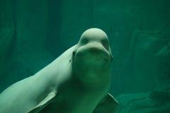 Weißwal stockfotografie