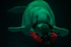 Weißwal und sein Trainer Stockfotografie